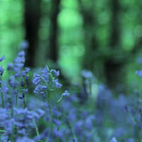 Bluebell Landscapes