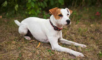 Photo by British Grit Jack Russell Terriers